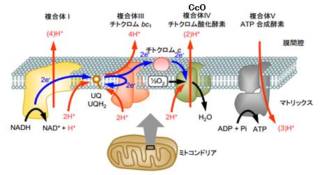 心筋およびミトコンドリアの構造上の変化