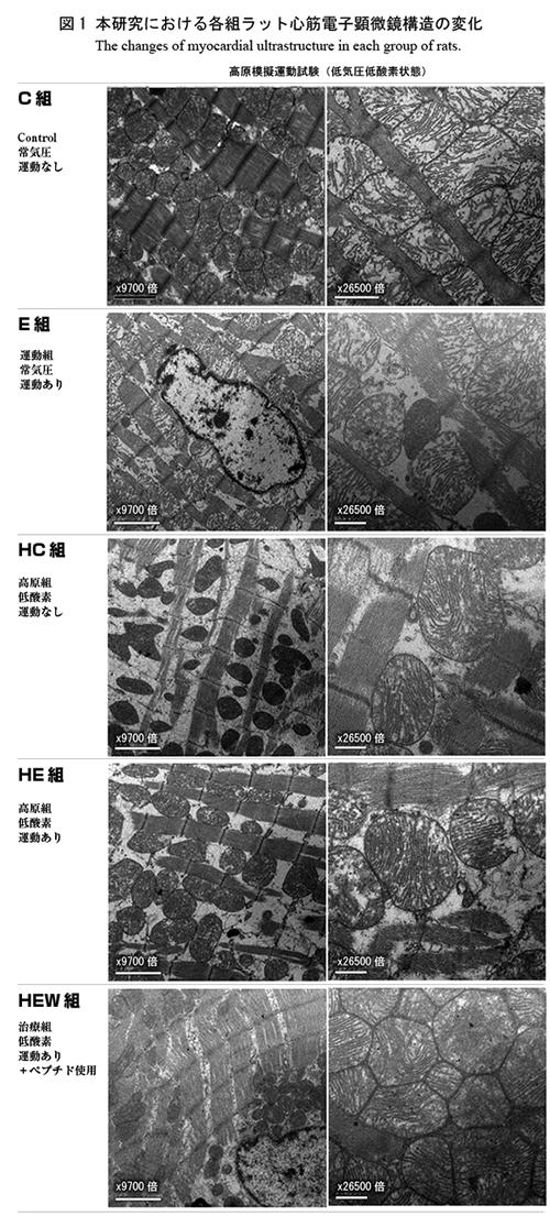 低酸素運動に対する作用の顕微鏡画像